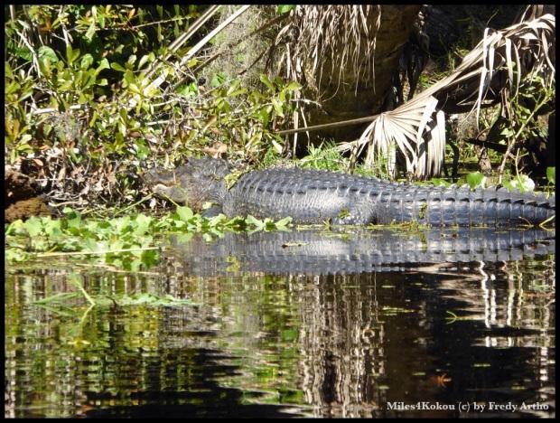 Hier haben wir ihn vom Kanu aus erwischt. Distanz zum Tier unter 10 Meter.