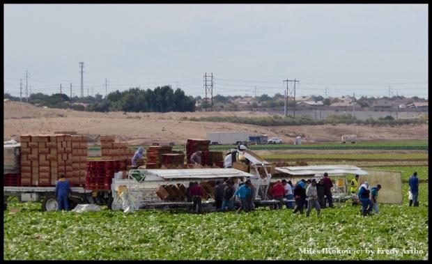 Für die Ernte sind die billigen Helfer aus dem Süden gern gesehen.