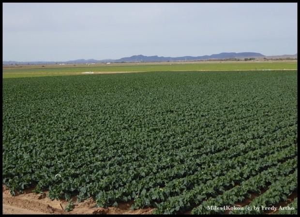 Die Anbauflächen haben riesige Dimensionen.